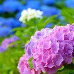 紫陽花は英語で 読み方はどうなる?
