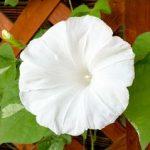 白い朝顔は珍しい 花言葉は?