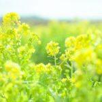 菜の花は英語で 例文だと?