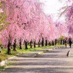 しだれ桜は英語で 例文はどんな感じ?