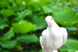 鳩 卵 食べる