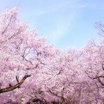 赤い 桜の名前はなんていうのだろう?