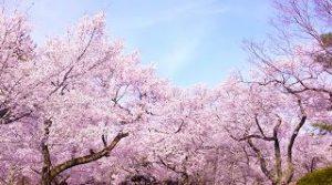 桜に似た花