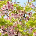 葉桜は季節だといつ頃になるのだろうか?