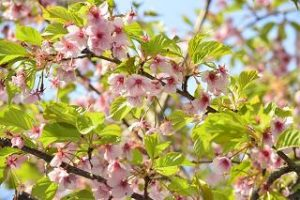 葉桜は英語で 説明をすると?