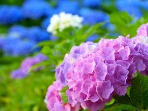 紫陽花 色の違い 何で決まる 変える