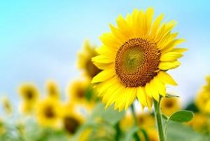ひまわり 似た花