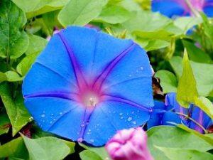 朝顔 似た花