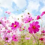 コスモスでピンクだと花言葉は 緑との違いは?
