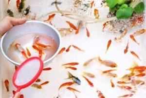 金魚 メダカ 食べる