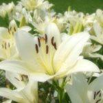 白いユリの花言葉は 種類だとどんなのがある?
