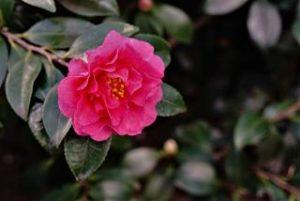 山茶花 季節