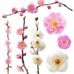 白梅の花言葉はどうなっているの?