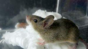 ネズミ チーズ