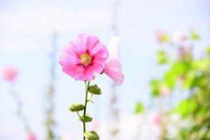 葵 植物 季節