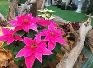 ポインセチア ピンク 花言葉 品種 値段